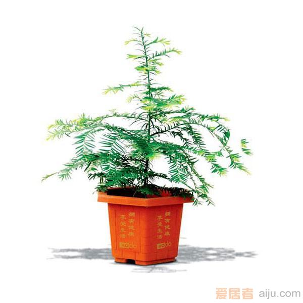 红豆牌红豆杉盆景紫杉一号(高:40CM)防癌抗癌净化空气