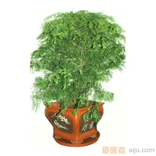 红豆牌红豆杉盆景精品六号(高:170CM)防癌抗癌净化空气