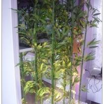 鱼缸的外面,一排人工的竹子,18根,轻坊城买的